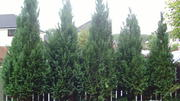 WELL ESTABLISHED CONIFERS FOR SALE